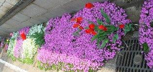 芝桜(シバザクラ) 4-22