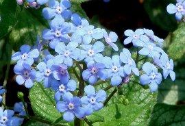 ブルンネラ・ジャックフロストの花 4-26
