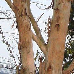 ユーカリの木肌