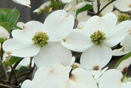 ハナミズキの花 5-1-