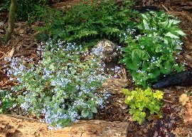 ブルンネラ・ジャックフロストの花  2008-5-1