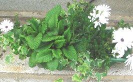 花後のプリムラ 2008-5-2