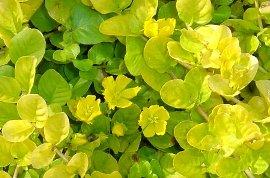 リシマキア ヌンムラリア・オーレアの花