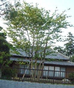 ヤマボウシの画像 p1_2