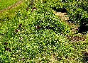 再び草茫々になった家庭菜園