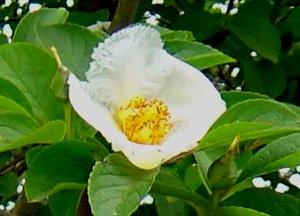 シャラノキ 夏椿(ナツツバキ)の花 6-24