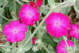 リクニスの花