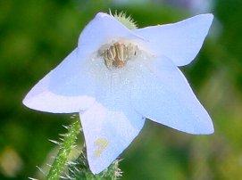 ど根性這性ボリジの花