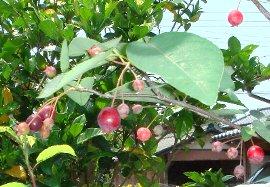 ジューンベリーの収穫 6-17