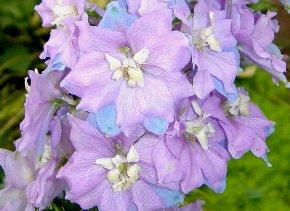 デルフィニュームの花 7-23