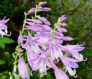 小型のギボウシ(ホスタ)の花