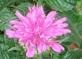 モナルダ(ベルガモット)の花