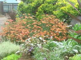 花壇のコレオプシス
