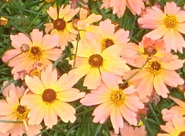 コレオプシスの花 7-8
