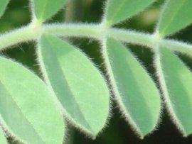 スターツデザートピーの葉