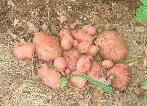 2007年もの 赤いジャガイモ 7-20
