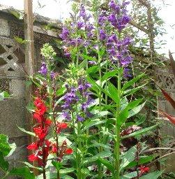 宿根ロベリアの花 7-25
