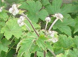 シュウメイギク(秋明菊)  2008-8-10
