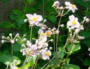 庭のピンクのシュウメイギク(秋明菊) 2007-9-8