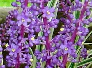 フイリヤブランの花 9-20