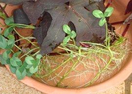 クローバーの水さし芽 9-19