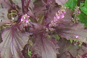 赤紫蘇の花穂