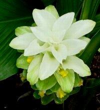 上から見たウコンの花