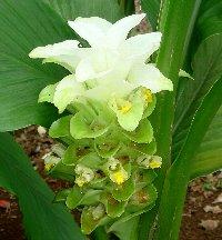 きれいなウコンの花