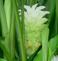 真横から見たウコンの花