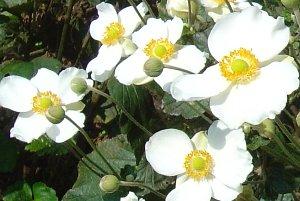 シュウメイギク(秋明菊)の花 2007-10-8