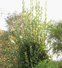 秋の月桂樹(ゲッケイジュ) 10-31