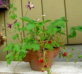 オダマキの花とミヤコワスレの花とイチゴ