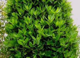 新緑のころの月桂樹(ゲッケイジュ) 5-29