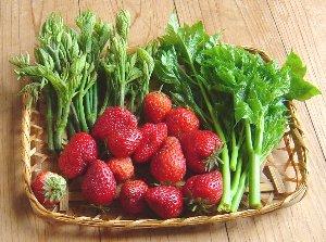 イチゴの収穫 5-25
