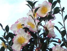 サザンカの花 11-20