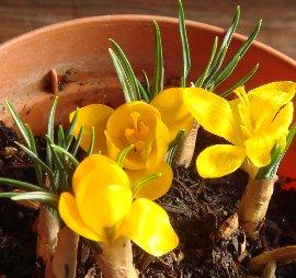 クロッカスの花 2009-1-20
