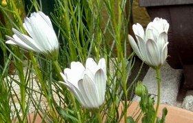 閉じた白のオステオスペルマムの花