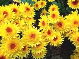 オレンジがかった黄色の小菊