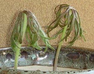 ヤブレガサ(破れ傘) 2008-3-26