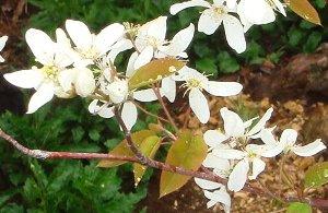 ジューンベリーの花 4-13