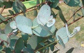 ユーカリの葉 4-22