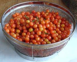サクランボの収穫 5-17