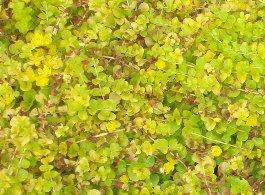 葉やけ症状のオーレア 6-10