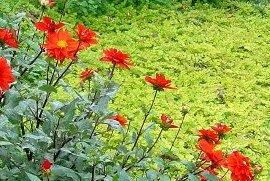 秋のリシマキア ヌンムラリア・オーレア