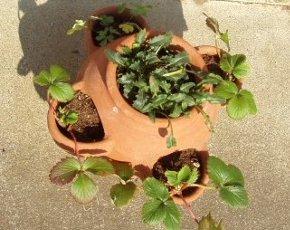 ストローベリ-ポットのイチゴの植え付け