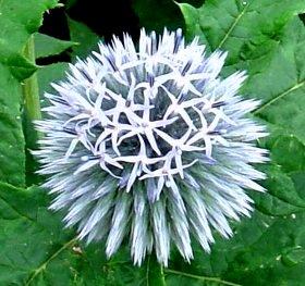 エキノプス(ルリタマアザミ)maru  2007-7-6.jpg
