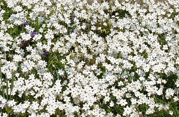 ハナニラ(イエイオン) 2007-4-7-1.jpg