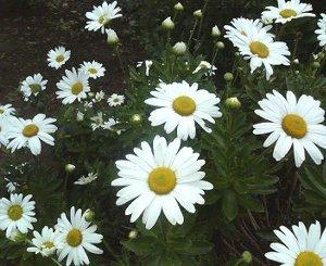 ハマギクの花1.jpg
