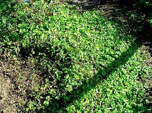 ヘビイチゴ 2007-10-26-1.jpg