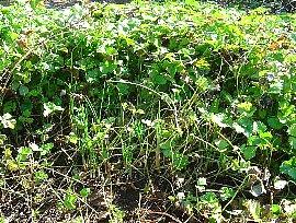 ヘビイチゴとサフラン 2007-10-26-1.jpg